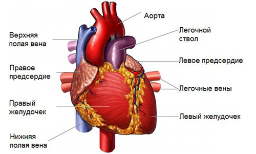 Строение желудочков сердца