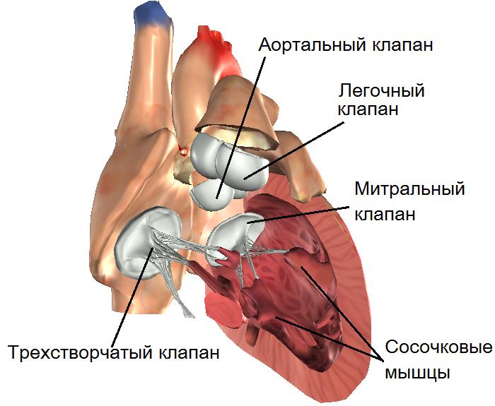 Клапан Митральный