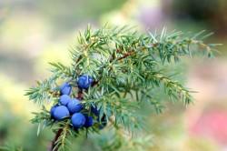 Плоды можжевельника для лечения отеков