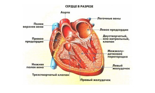 Анатомическое строение сердцай