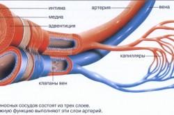 Устройство кровеносных сосудов