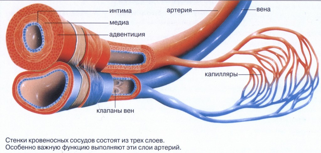 Вены отвечают за перенос крови