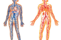 Венозная и артериальная системы