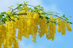 Желтая акация для лечения сердечного ревматизма