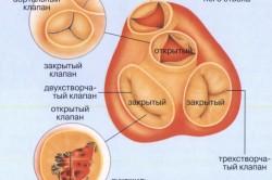 Схема клапанов в сердце