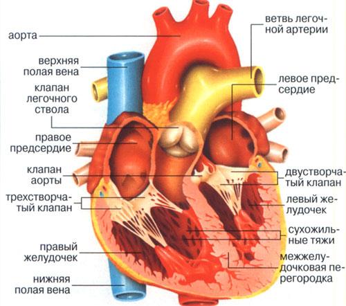 Сердце состоит из четырех