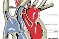 Схема кровотока и расположение клапанов в сердце
